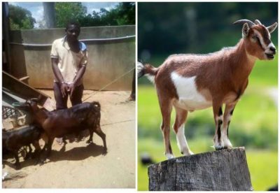 Man goat