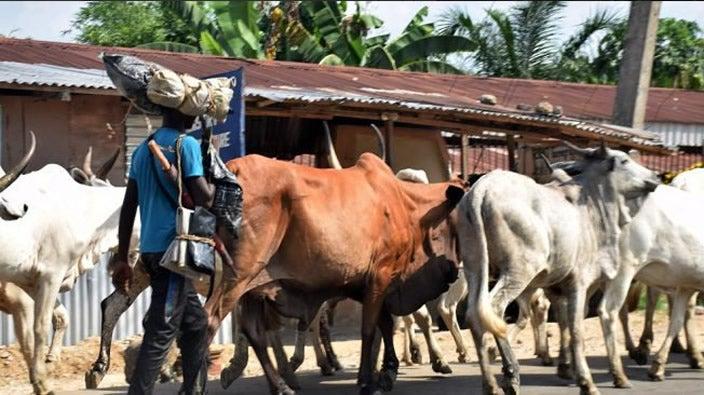 Zamfara recovers 300 rustled cows in 1 night